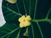 Yellow flower pavonia sepium in large green foliage stock image