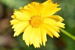 Yellow flower. At Pekin park Royalty Free Stock Photo