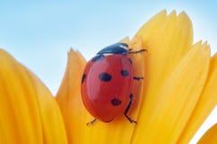 Yellow flower petal with ladybug royalty free stock photo