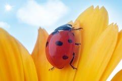 Yellow flower petal with ladybug. Under blue sky Royalty Free Stock Image
