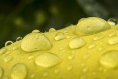 Yellow flower petal after rain. Wet yellow flower petal after rain Stock Photos