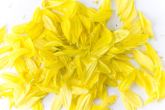 Yellow flower petals. Shed yellow flower petals loose on a white surface Royalty Free Stock Photos