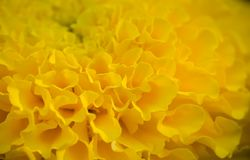 Yellow flower petals of marigolds. Scenic yellow natural background. Closeup of flower petals of yellow marigolds Royalty Free Stock Photo