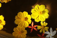 Yellow flower petals. Yellow, red, white  flower petals on brown color background Stock Images