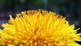 Yellow Flower Petals stock video footage