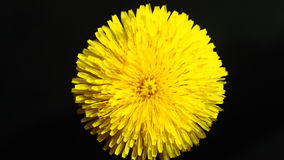 Yellow Flower Petals stock footage