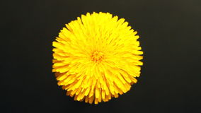 Yellow Flower Petals stock video
