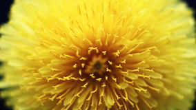 Yellow Flower Petals stock video footage