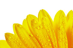 Yellow flower petals with water droplets. Isolated on white background Royalty Free Stock Images