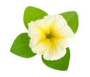 Yellow flower of petunia with green leaves isolated on white background Royalty Free Stock Photos