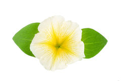 Yellow flower of petunia with green leaves isolated on white background Stock Photo