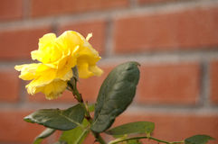 Yellow flower. Photo of a yellow flower with brick wall background Stock Photography