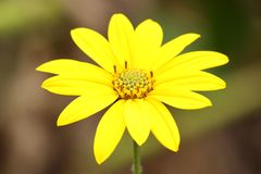 Yellow flower. Photographed in the wild on the bank of the river west morava serbia Stock Photography