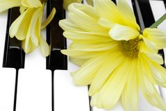 Yellow flower on a piano. Closeup of a yellow flower on a piano keyboard royalty free stock photos