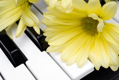 Yellow flower on a piano. Closeup of a yellow flower on a piano keyboard royalty free stock images