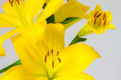 Yellow Flower. Picture of a Yellow Asiatic Lily flower on a white background Royalty Free Stock Images