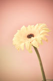 Yellow  flower on pink background. Yellow flower on sweet pink background Royalty Free Stock Images