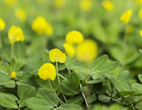 Yellow flower Pinto Peanut plant Stock Image