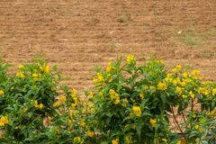 Yellow flower plant on blurry. Farmland background royalty free stock photos
