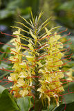 Yellow flower plant with green nature background. Hedychium gard Royalty Free Stock Image