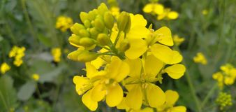 Yellow Flower, yellow plant, yellow mustard tree royalty free stock images