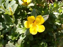 Yellow flower of portulaca with insect. The purslane is any of a number of small, typically fleshy-leaved plants that grow in damp habitats or waste places, in Royalty Free Stock Photos