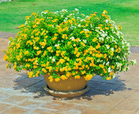 Yellow flower in a pot Stock Photos