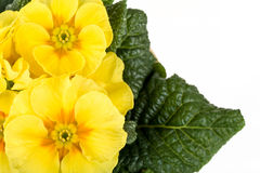 Yellow flower primrose Stock Photography