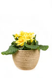 Yellow flower primrose in pot Royalty Free Stock Photo