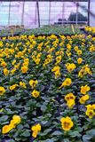Yellow flower production in green house agriculture production Royalty Free Stock Photography