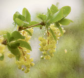 Yellow flower in rain. Stock Photos