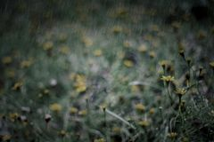 Yellow flower in the rain Royalty Free Stock Image