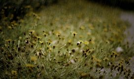 Yellow flower in the rain Royalty Free Stock Photography