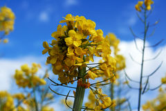 Yellow flower of rape Royalty Free Stock Photography