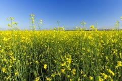 Yellow flower of rape Royalty Free Stock Photos