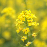 Yellow flower of rape(lat. Brassica napus). The rape flowers at beautiful day Royalty Free Stock Image