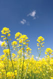 Yellow flower of rape (Lat. Brassica napus) Royalty Free Stock Photos