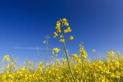 Yellow flower rape Royalty Free Stock Photography