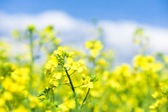 Yellow flower rapeseed field Stock Images