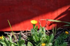 A yellow flower with red background. Yellow flower with red background nature spring blossom petal plant stock photography