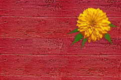 Yellow flower on the red wood board. Yellow flower on the red wooden surface. Rudbeckia flower. Vintage background stock photos