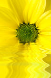 Yellow Flower Reflected in Watery Ripples. A yellow, daisy shaped Chrysanthemum edited to appear half submerged and reflected in rippling water royalty free stock photography