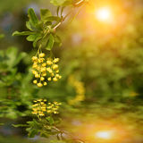 Yellow flower reflecting in the water Stock Photo