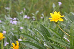 Yellow flower on the right. A yellow flower popping clearly against a blurred background of green and purple. the petals clearly defined as well as the stalk and Stock Photos