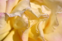 Yellow Flower - Rose. Macro of yellow rose petals Stock Images