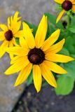 Yellow flower, rudbeckia Stock Photo