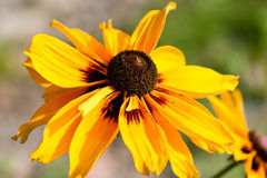 Yellow Flower Rudbekia Stock Photography