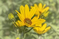 Yellow flower in a rural area. A yellow flower field flower in a rural area. Close up shot royalty free stock photography