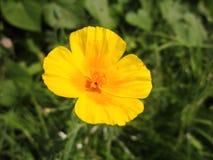 Yellow flower, Ryazan royalty free stock photos