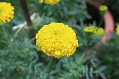 Flower. Yellow flower it& x27;s call marigold royalty free stock photography